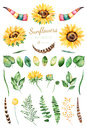 Handpainted watercolor sunflowers.31 bright watercolor clipart of sunflowers,leaves,branches,feathers,deer horns. Royalty Free Stock Photo