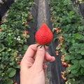 Handpicked fresh strawberry from strawberry farm Royalty Free Stock Photo