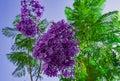 Handroanthus impetiginosa Lilac blue color Tabebuia avellanedae or Handroanthus impetiginosus