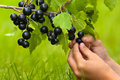 Hands of child picking berries of black currant Royalty Free Stock Photo