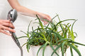 Hands cleaning dust off aloe plant pouring from the shower to clean and hydrate it Stock Photography