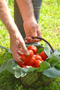 Hands collecting tomato crop Royalty Free Stock Photo
