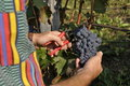 Hands cutting grape cluster
