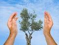 Hands den olive skyddande treen Arkivbild