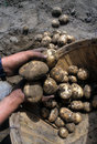 Hands digging potatoes Royalty Free Stock Photos