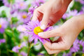 Hands and flowers gentle holding a purple flower in a field of purple Stock Photos