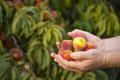Hands full of peaches Royalty Free Stock Photo