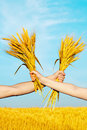 Hands holding bundle of the golden wheat ears Stock Images