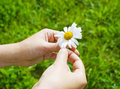 Hands holding daisy Stock Photos