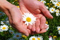 Hands holding a daisy Royalty Free Stock Photo