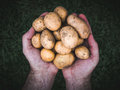 Hands holding fresh organic potatoes Royalty Free Stock Photo