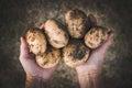 Hands holding fresh potatoes Royalty Free Stock Photo