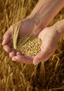 Hands holding grain Stock Photography