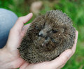 Hands holding hedgehog Stock Images