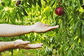 Hands holding peaches Royalty Free Stock Photo