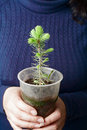 Hands holding a small  tree in pot Royalty Free Stock Photo