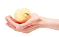Hands holding small yellow chicken isolated on white Royalty Free Stock Photo