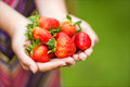 Hands holding strawberries women s ripe macro Royalty Free Stock Photography