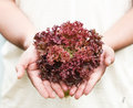 Hands holdings a fresh Purple lettuce Stock Photography