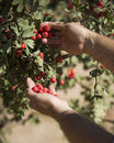 Hands of a man picking hawthorn fruit Stock Photo