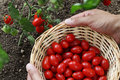 Hands picking cherry tomatoes from the plant with basket Royalty Free Stock Photo