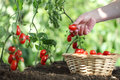 Hands picking tomatoes from plant to vegetable garden, Royalty Free Stock Photo