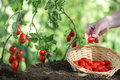 Hands picking tomatoes from plant to vegetable garden Royalty Free Stock Photo