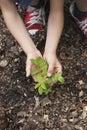 Hands Planting Black Locust Tree Seedling Royalty Free Stock Photo