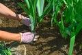 Hands planting iris flower plants