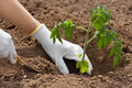 Hands planting seedling of tomato in the vegetable garden Royalty Free Stock Photo