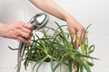 Hands pouring from the shower aloe plant to clean dust off and hydrate it Stock Photography