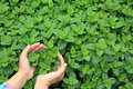Hands protect organic mint plants Royalty Free Stock Photo