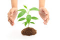 Hands protecting green plant on white baby isolated background Royalty Free Stock Images