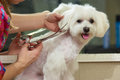 Hands with scissors, dog grooming. Royalty Free Stock Photo