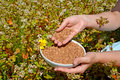 Hands of the woman hold a bowl with buckwheat in the field of the blossoming buckwheat of a sowing campaign Fagopyrum esculentum Royalty Free Stock Photo
