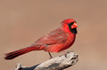 Handsome bright red Northern Cardinal male Stock Photography