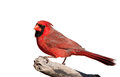 Handsome bright red northern cardinal male isolated on white perched a limb Royalty Free Stock Photo