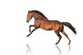 Handsome brown stallion galloping, jumping. Royalty Free Stock Photo