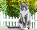 Handsome cat a grey and white male tom with green eyes sitting on a table staring at the camera in a natural fall yard setting Royalty Free Stock Photography