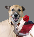 Handsome doggy good looking ready for a evening out Royalty Free Stock Photo