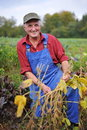 Handsome farmer checking his soybean field Royalty Free Stock Photography