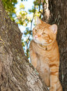 Handsome orange tabby cat up in a tree Stock Image