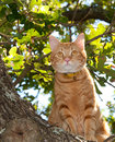 Handsome orange tabby cat up in a tree Stock Photo