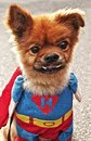 Heroic dog wears a super costume Royalty Free Stock Photo