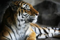 Handsome tiger resting in cool corner of habitat with dark corners shallow dof used on face Royalty Free Stock Photo
