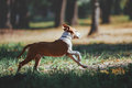 Handsome young dog runs across the field on forest background. Royalty Free Stock Photo