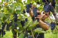 Handsome young vintner harvesting vine grapes Royalty Free Stock Photo