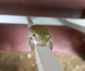 Hang on! Eastern Gray Tree Frog on a porch railing Royalty Free Stock Photo