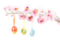 Hanged bright color easter eggs bows spring flower isolated white background Royalty Free Stock Photography