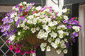 Hanging basket. Stock Image